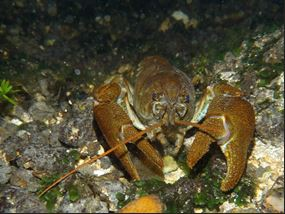 Crayfish Hampshire and Isle Of Wight Trust